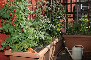 Guide to Growing Fruits and Vegetables on Balcony